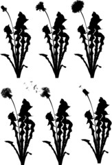 six dandelion life stages illustration