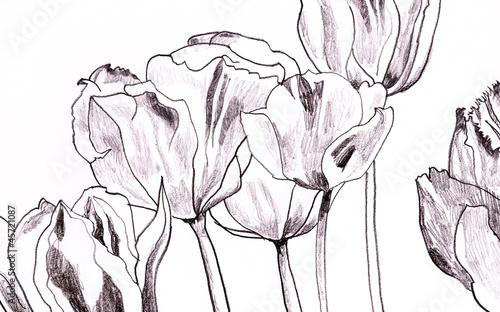 tulpen-zeichnung auf weiß - 45721087