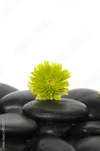 Dahlia flower on pebbles background