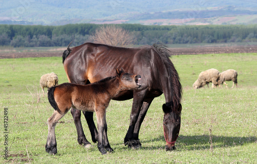 horse foal neigh on pasture
