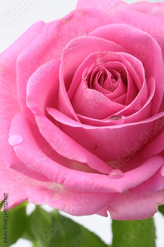 Fotobehang Macro Close up of pink rose heart