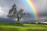 Rainbow over a Lonely olive tree