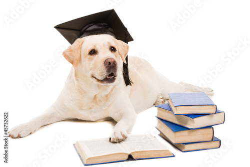 labrador retriever reading books on  isolated white