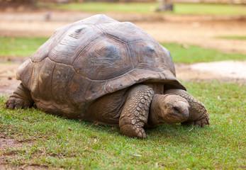 Big Seychelles turtle in La Vanille Reserve park. Mauritius