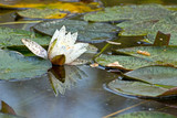 A white water lily blighted by bugs in a pond.