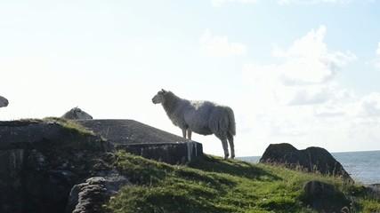 Schafe auf einem Bunker aus dem 2. Weltkrieg, Ort: Skandinavien