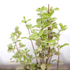 majoram (oregano) on white background in garden-bed