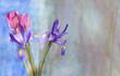 Iris y tulipanes