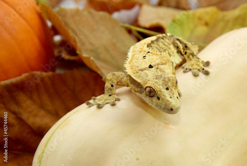 Autumn crested gecko
