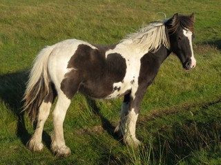 Pony on the Rossendale hills in Lancashire