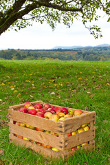 Apfelernte im Oktober