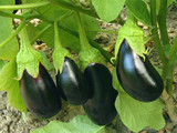 fruitful eggplant