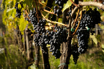 Tuscany Red Wine Grapes