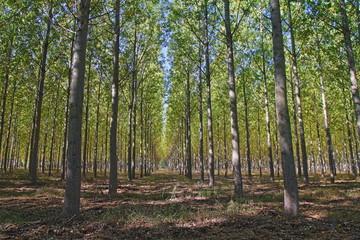 Bosque de chopos. Alija del Infantado, León