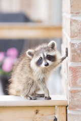 Juvenile ginger-haired raccoon leaning on wall