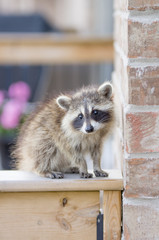 Juvenile ginger-haired raccoon on garden fence