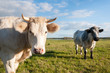 Two cows standing on grassland
