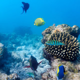 Ecosystem of Tropical Coral Reef, Maldives poster