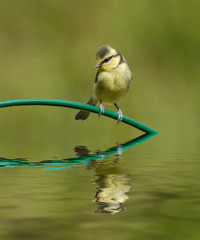 Blue tit and reflection