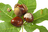 Some Horse chestnuts on green chestnut leaves