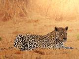 Fototapety Leopard