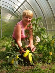 Женщина с урожаем сладких перцев в теплице