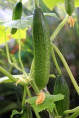 cucumber on vine