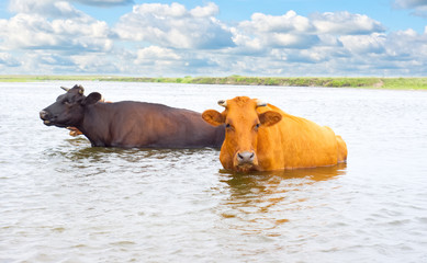 Cows is looking for coolness in the water of river