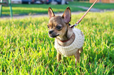 miniature chihuahua puppy  wearing knitted jacket