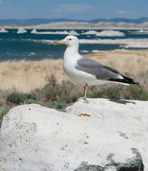Large Seagull