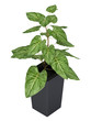Ornamental Syngonium houseplant