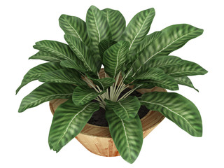 Dieffenbachia with variegated leaves