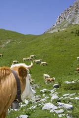 Rind auf der Alp