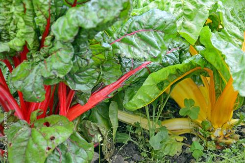 roter und gelber Mangold