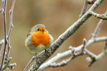 red robin bird perching, in winter
