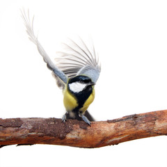 great tit bird, with elegant movement of the wings