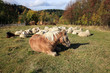 Farmer animals sunbathing in the autumn sun