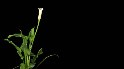 Blooming white calla on the black background (Calla Zantedeschia