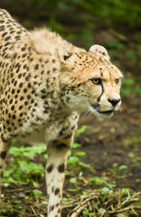 Cheetah or Acinonyx jubatus