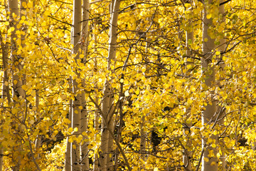 Aspen grove in fall with yellow leaves close view
