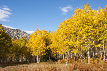 Aspen grove in fall, yellow leaves with mountains and blue sky