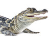 Close-up of young American Alligator on white background.