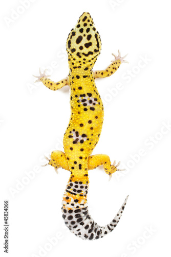 Poster Luipaard Leopard gecko on white background.
