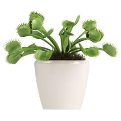 Venus Flytrap, Dionaea muscipula