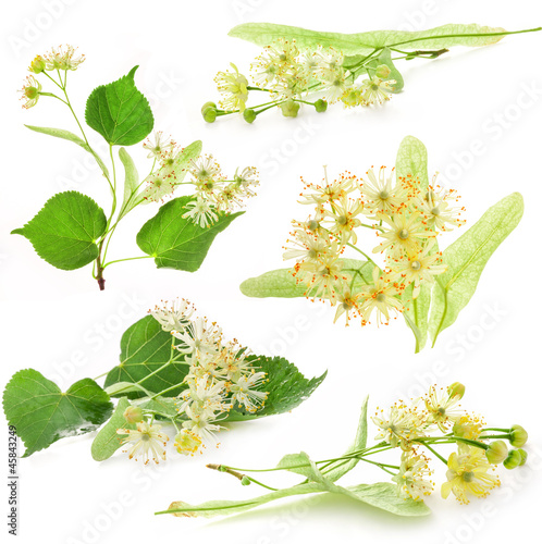 Collection of linden flowers isolated on white background