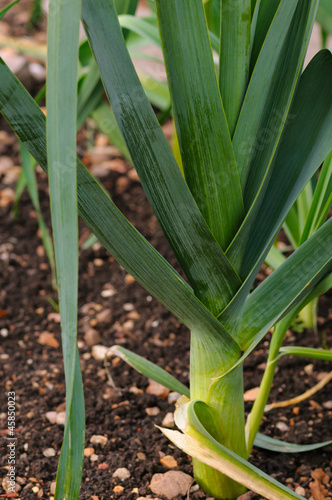 Organic Leek on the ground