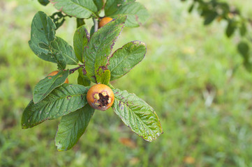 loquat on tree branch and green leaves
