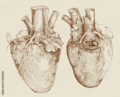 Heart. Based on drawing of Leonardo da Vinci - 45855881