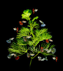 christmas tree concept with guppy fish on black background