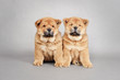 Two little Chow chow  puppies portrait